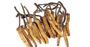 Cordyceps Pilz